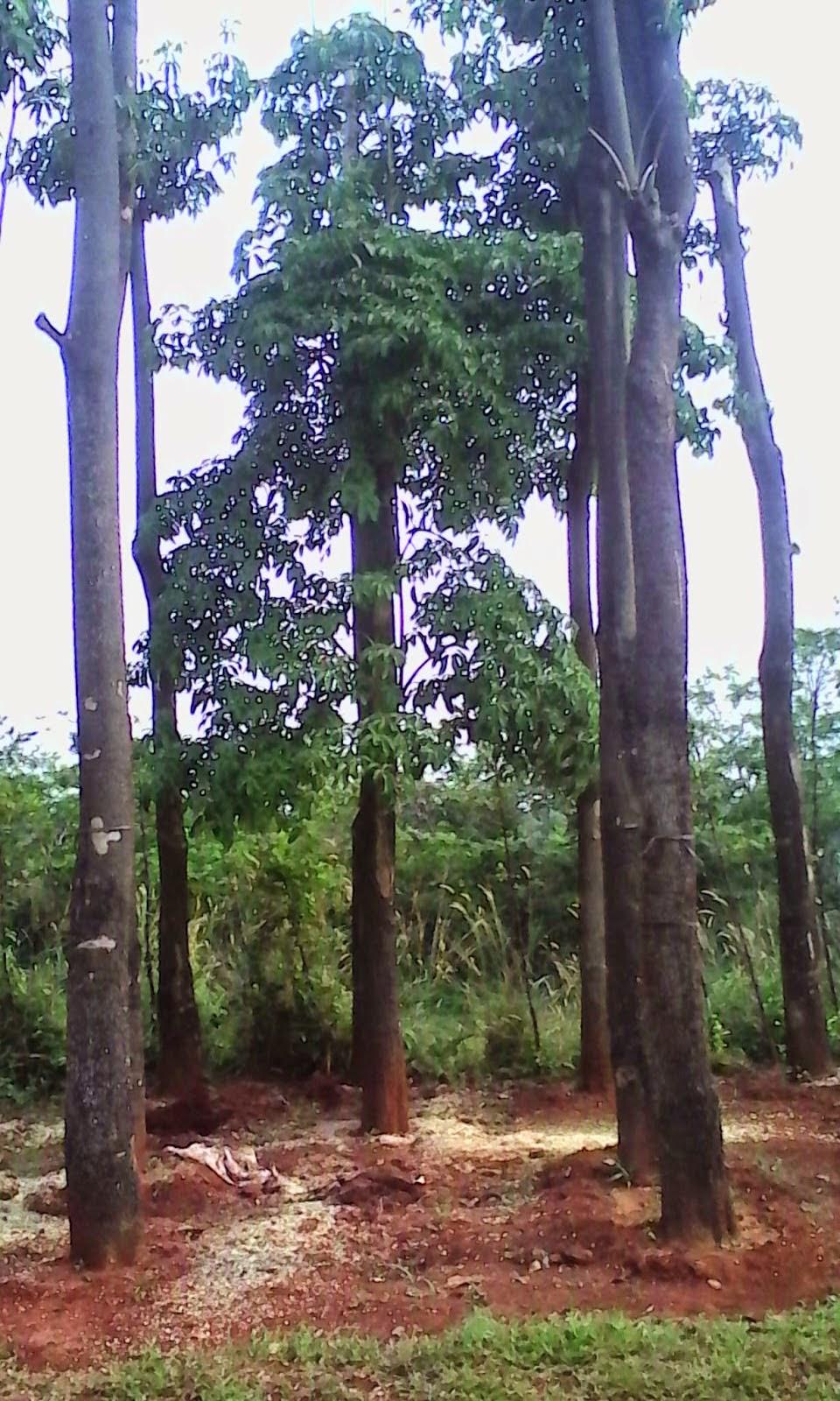 Pohon Pule | Pohon Pelindung | Tanaman Hias | Jasa Tukang Taman | Suplier Tanaman Hias | Aneka Rumput
