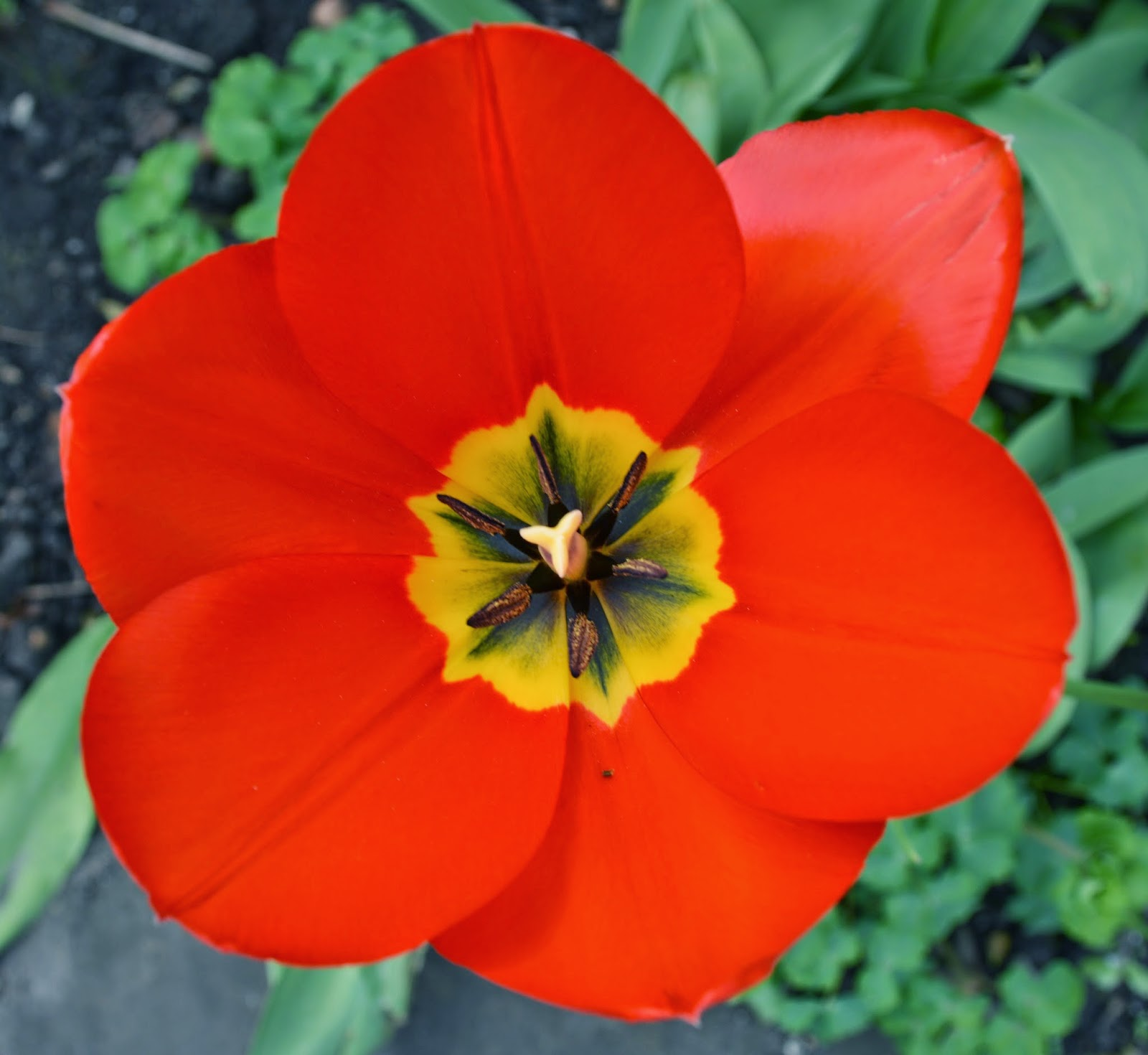 single red flower, open, petals, photograph, photo, green leaves,