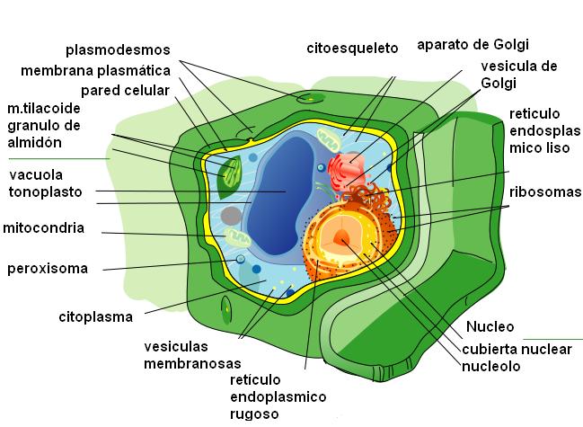 Celula Eucariota Y Sus Partes