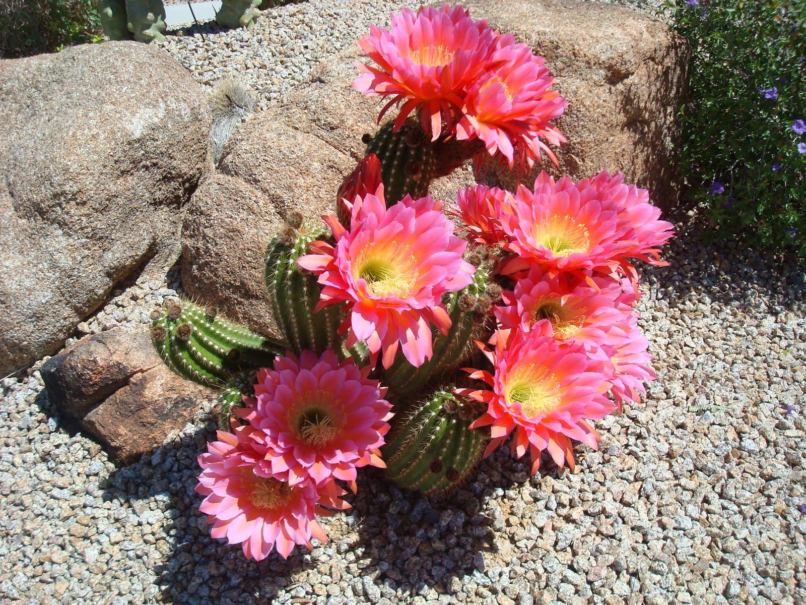 Karen Paoli Flowering Cactus