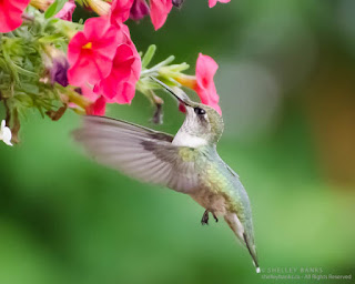 Juvenile male (from the faint black throat streaking) Ruby-throated Hummingbird at our hanging basket Regina, Saskatchewan.  ©  Shelley Banks, all rights reserved. (ShelleyBanks.ca)