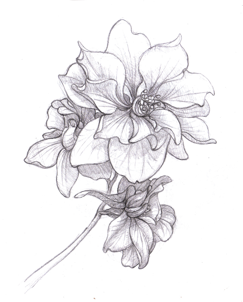 larkspur coloring pages - photo#34