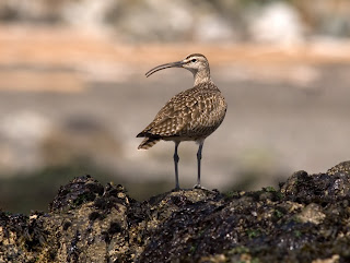 Image of a Whimbrel