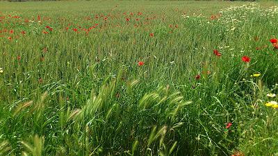 Campos de flores y cereal