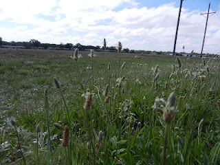 white prairie flowers pics
