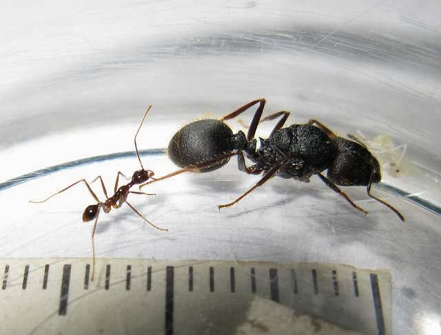 Minor worker and gyne of Pheidole longipes