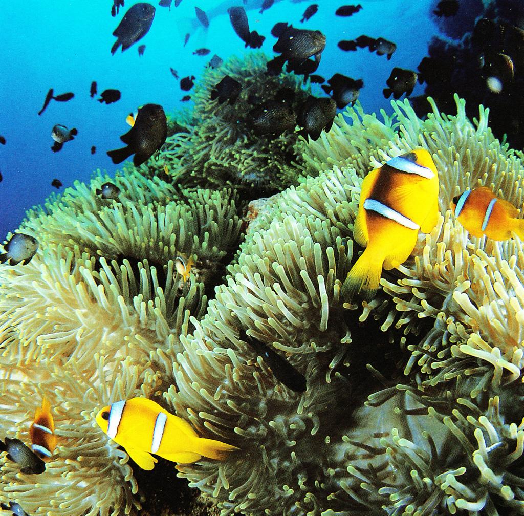 Colorful sea anemones