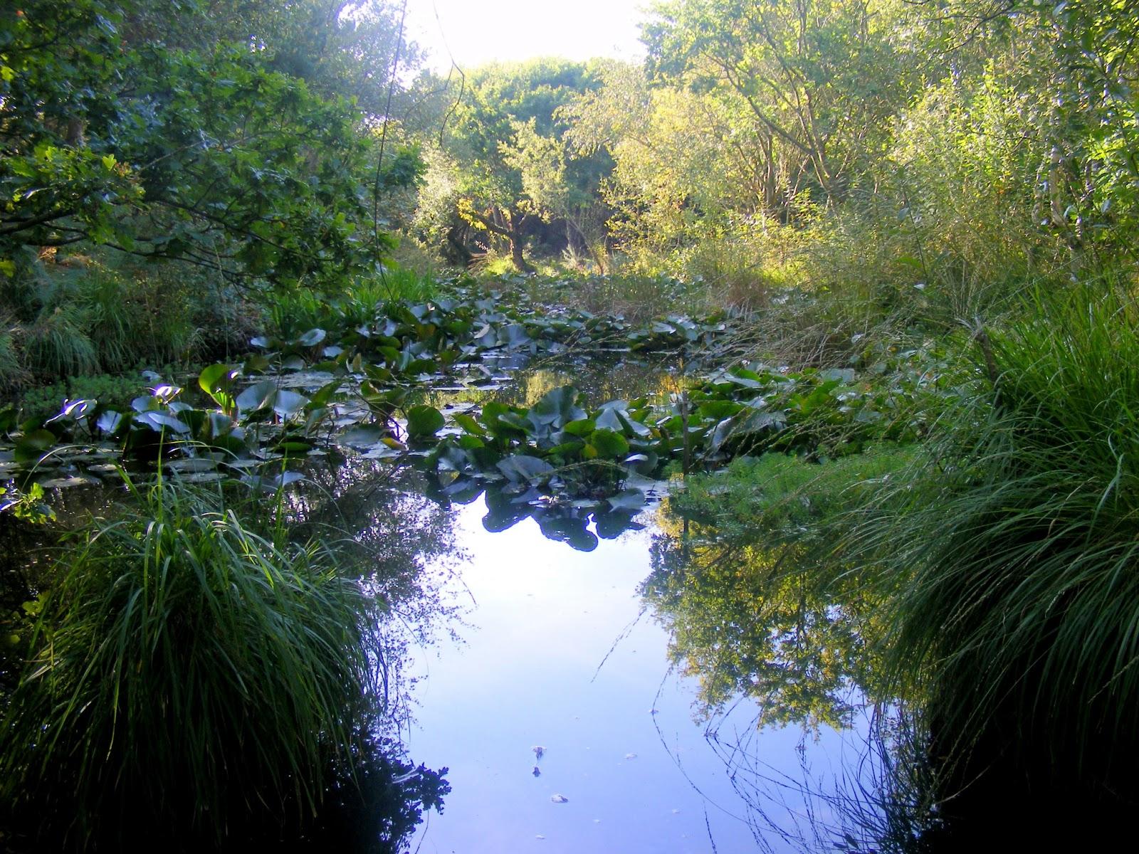 staw liliowy, lilly pond