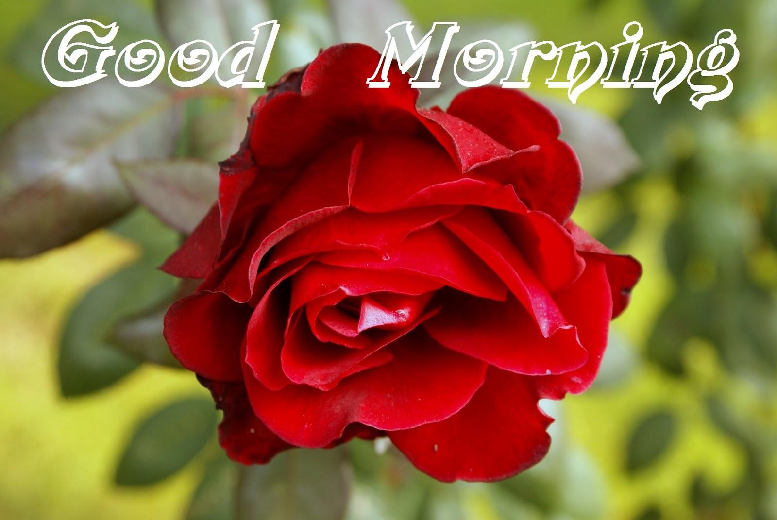 Good Morning Love Flower Image : Good morning love flower images