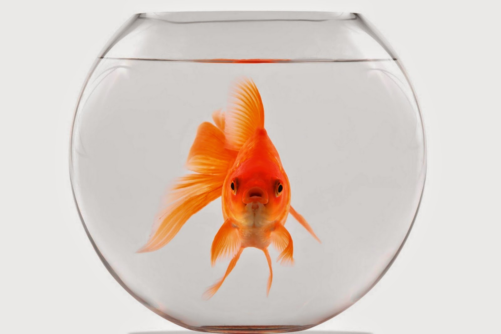 Thader tendencias mascotas el goldfish for Alimento para goldfish