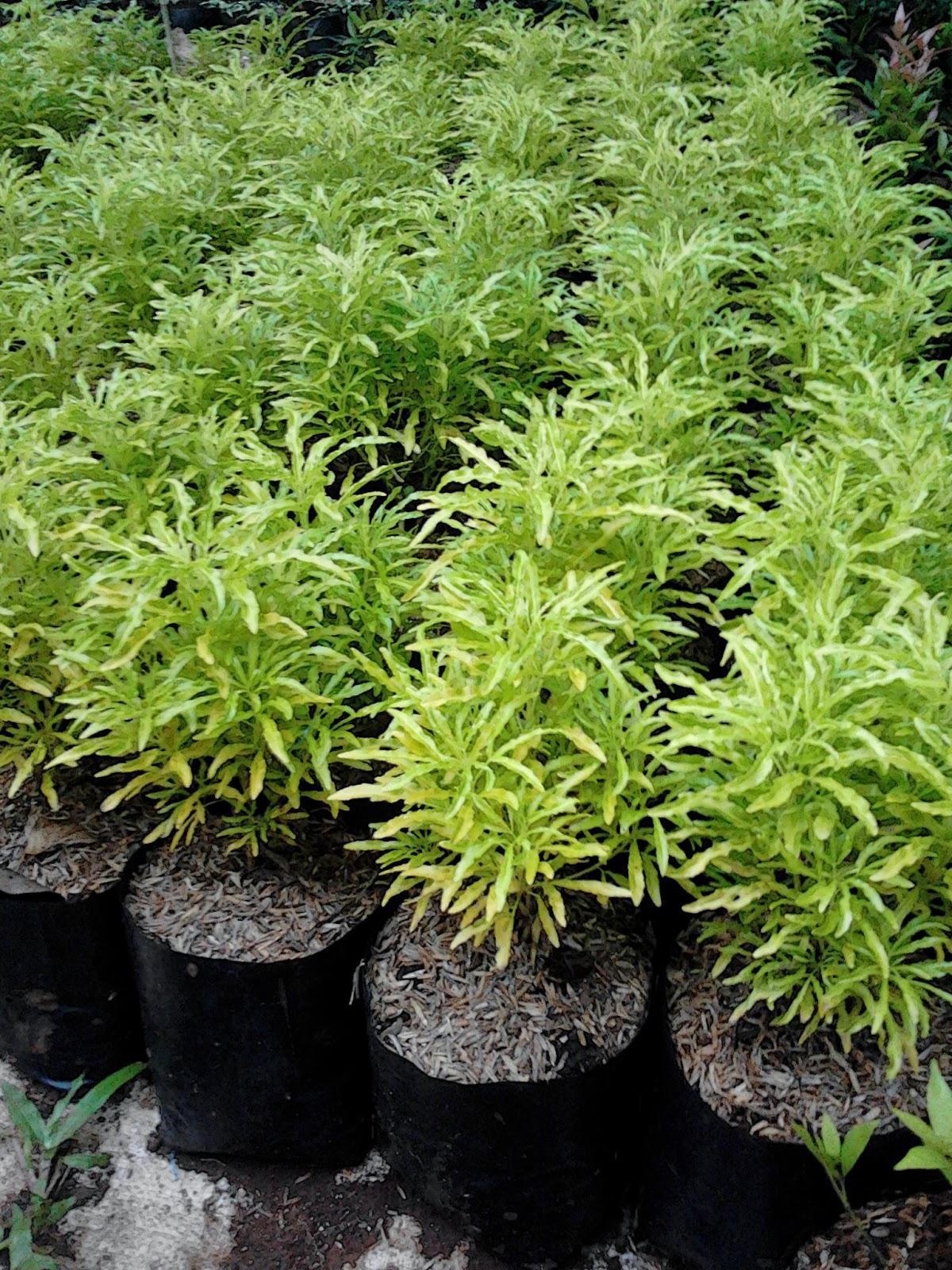 Brokoli daun kuning | tanaman hias | tanaman perdu | jasa pembuatan taman mininmalis