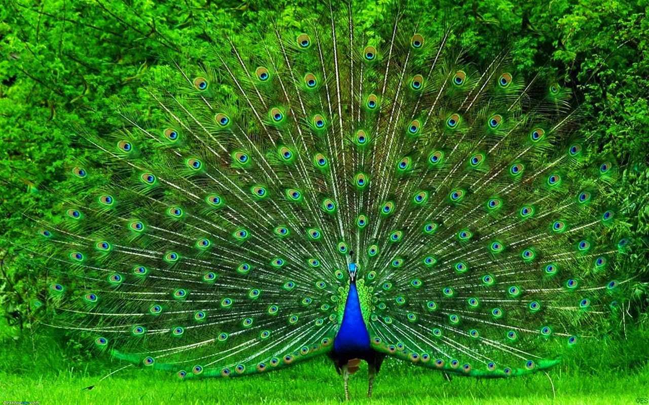 Beautiful Proud Peacock HD Wallpaper Free