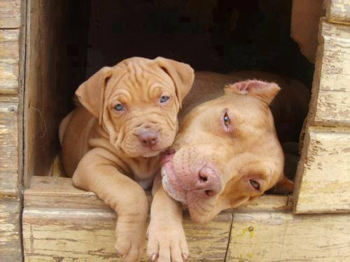 Mother pitbull and puppy pitbull sitting together