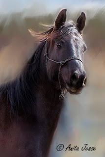 portrait of black Arabian horse by Anita Jesse