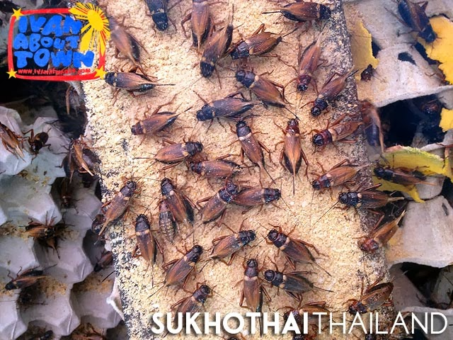 Cricket Farm in Sukhothai, Thailand