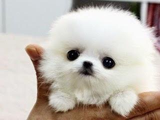 Otto cani pi piccoli del mondo for Nomi per cagnolini di piccola taglia