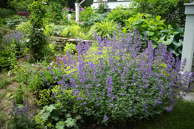 nepeta and lady's mantle