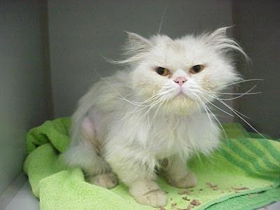 White persian stray cat