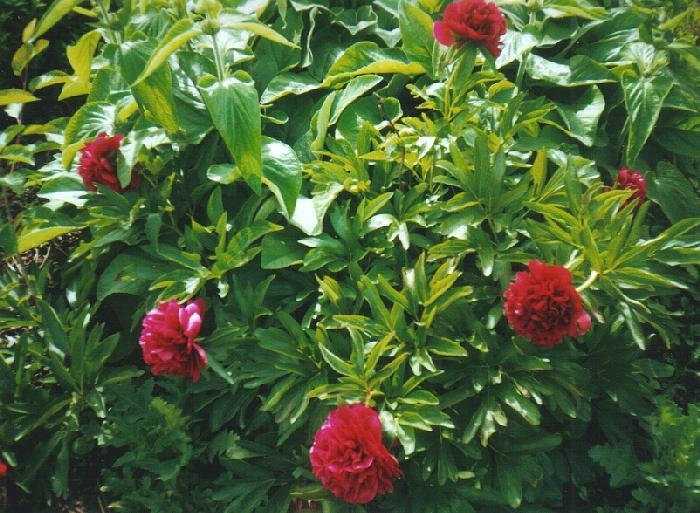 Le petit journal d 39 une pipelette ordinaire un joli bouquet de pivoines - Rouge comme une pivoine ...