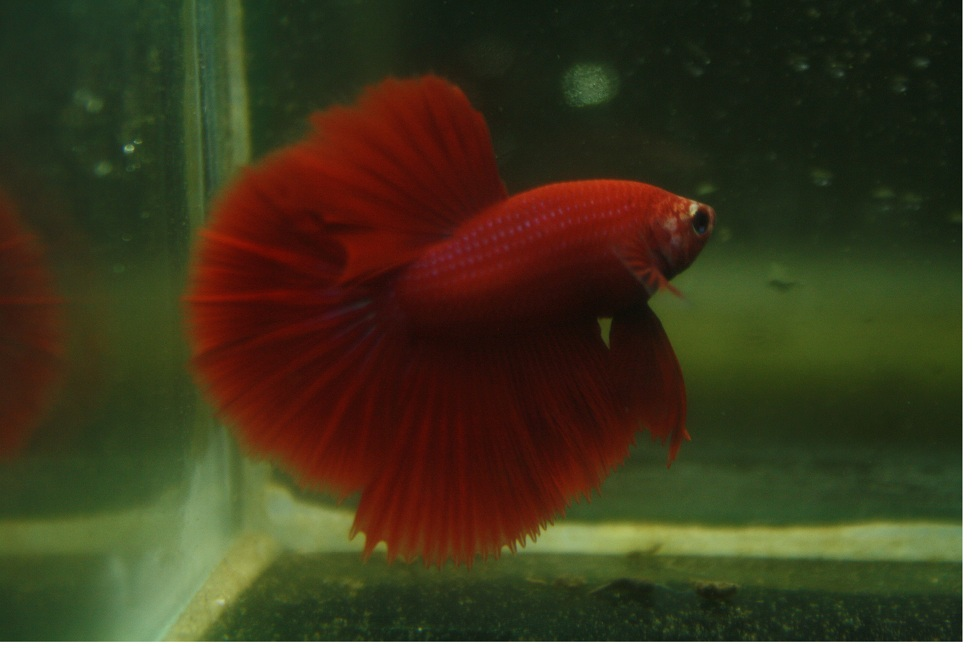 All about betta fish male betta high red halfmoon for Red betta fish