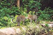 Pareja de leopardos