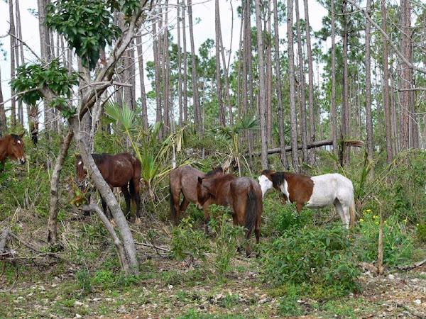 Caballos Abaco en el bosque