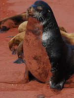 Male Galapagos Sea Lion Patrolling the BeachTurned Red from Sand on Rabida's Red Sand Beach