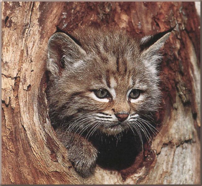 Best Animal Bobcat Wallpaper Best Blog WallpaperLikjen Create