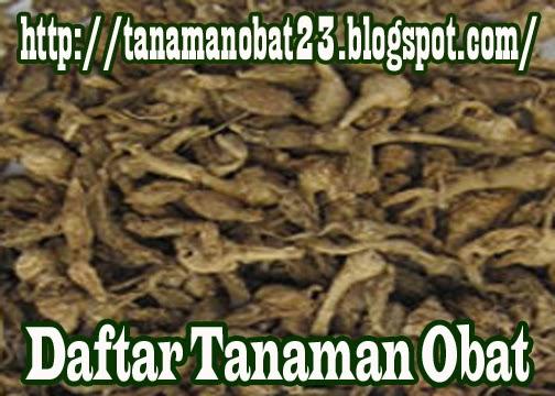 Tanaman Obat Kunci Pepet (Kaemferia rotunda L.)