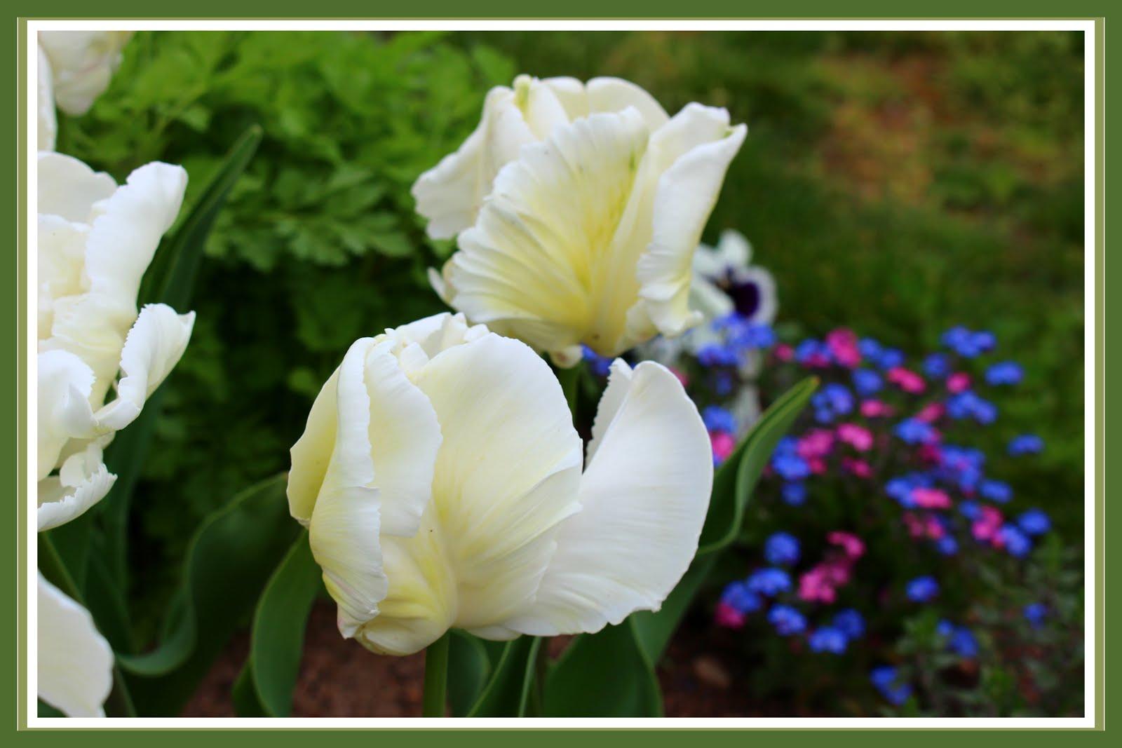 Tulipe perroquet Super Parrot