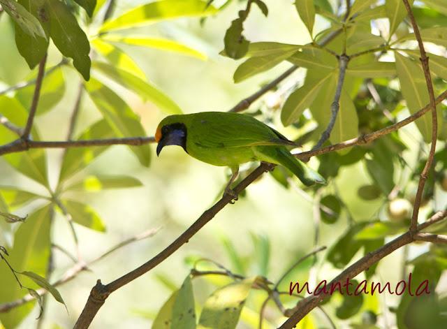 Kaeng Krachan, Golden Fronted Leafbird