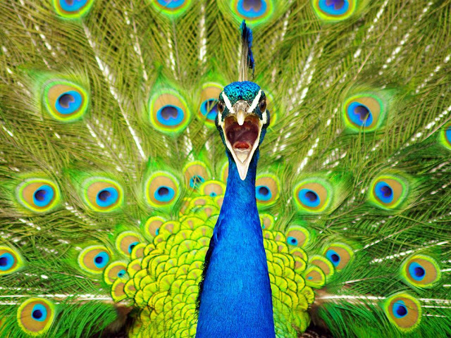 peacock shouting