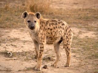 Hyena | serigala hutan