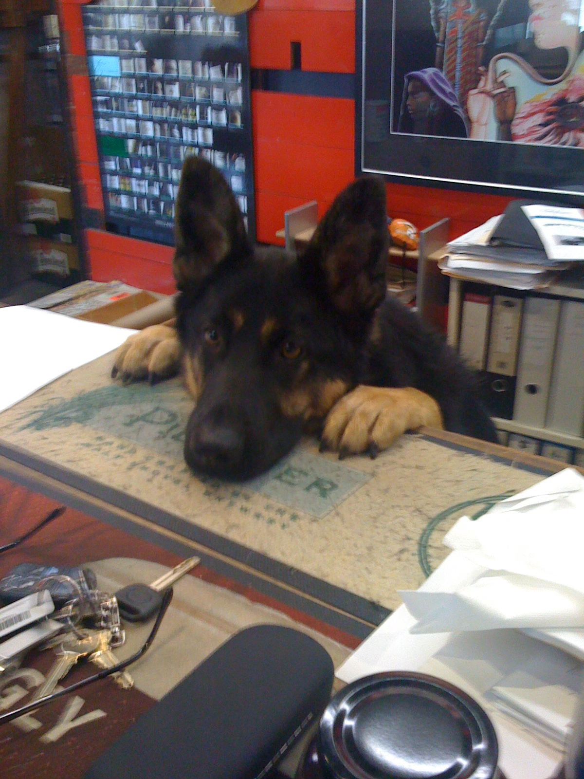 He is the best shop attendant ever, even at the age of 1 and he would  prefer to like OR lick you to death than eat you!