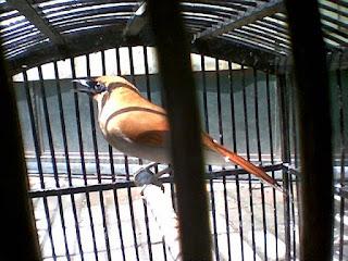 Burung Sam Ho( Samho/Sambo)-Untuk perawatan burung samho relatif gampang kok perawatannya.. seperti kebiasaan burung pada umumnya, seperti memelihara Burung Poksay.  Berikan voor,  EF jangkrik,  Sekali-kali berikan kroto Ulet bambu kalo doyan. Jemur & mandi tiap pagi.   Perawatan hariannya pun tidak jauh berbeda dari perawatan burung kicauan pada umumnya, di mana burung ini menyukai serangga seperti jangkrik dan ulat, serta terkadang menyantap buah-buahan yang diberikan.