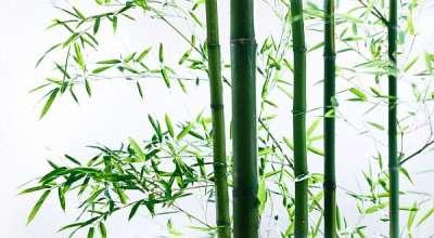 batang pohon bambu