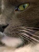 gatos de bigote