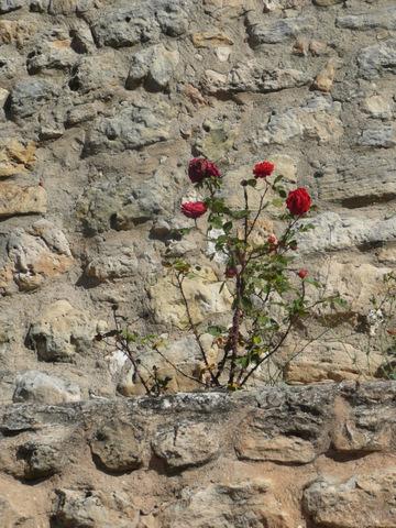 rosal sobre piedra