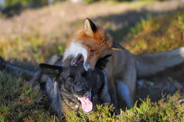 Un zorro y un perro jugando en los bosques de Noruega.
