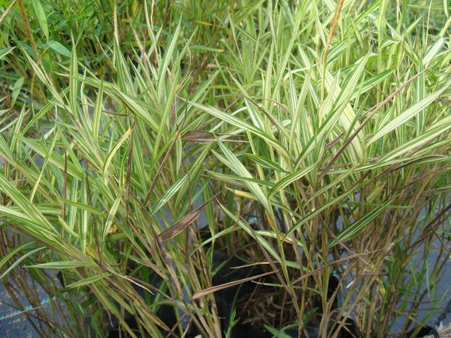 Bamboo Grass6