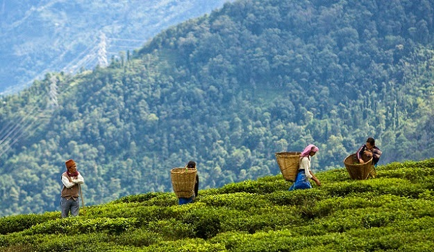 Temi Tea Garden, Sikkim