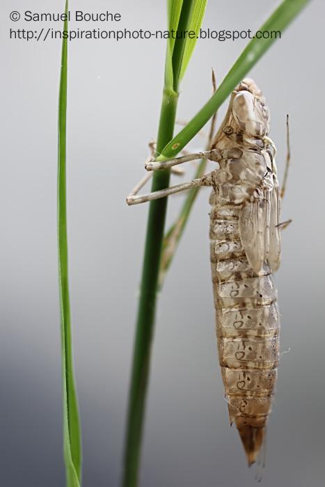 macro d'une exuvie de libellule