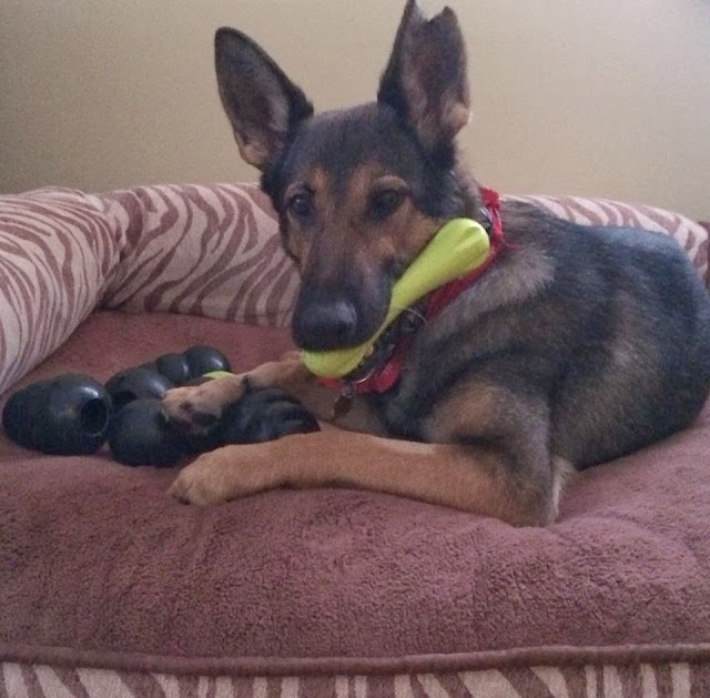 adorable dog pictures, german shepherd dog chews a toy