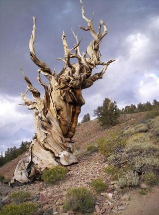 Madeiras com 35000 anos! Methuselah-tree