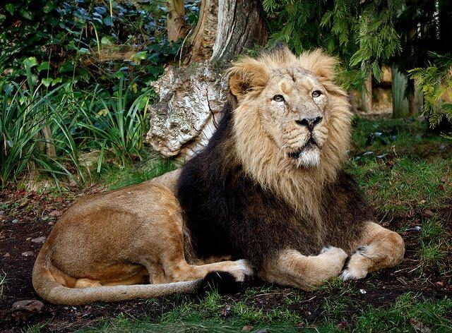http://2.bp.blogspot.com/-K4ONkuTePPE/UD4ldW-Q4UI/AAAAAAAACUs/ZsU9i4Wx4ic/s1600/Asiatic_Lion_LHG-Creative-Photography-701077.jpg