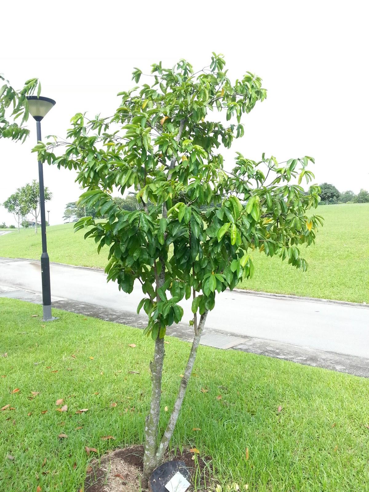 Riverine Parks: Soursop (Annona muricata)