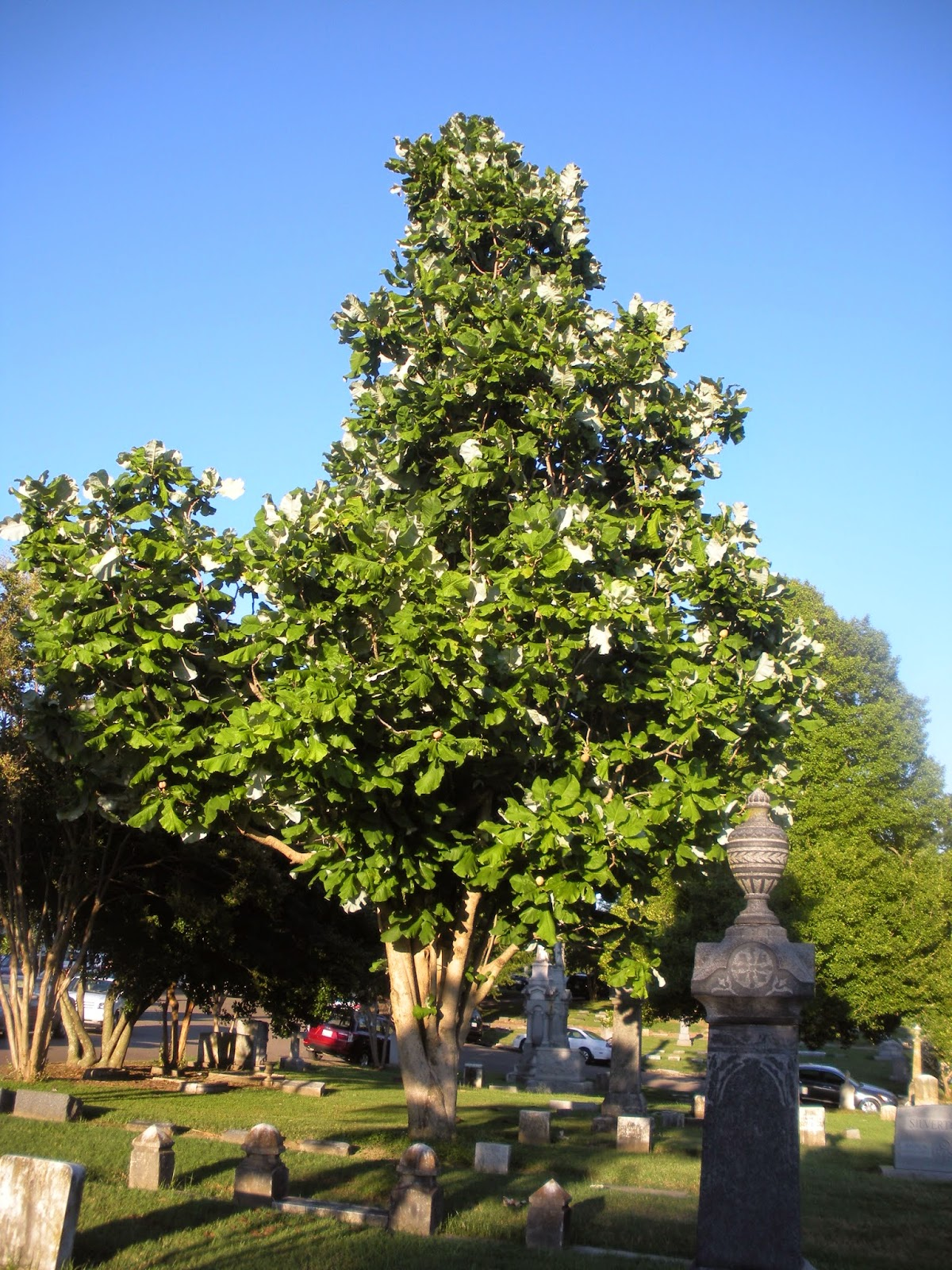 Memphis trees big leaves and small leaves at elmwood cemetery for Garden trees memphis