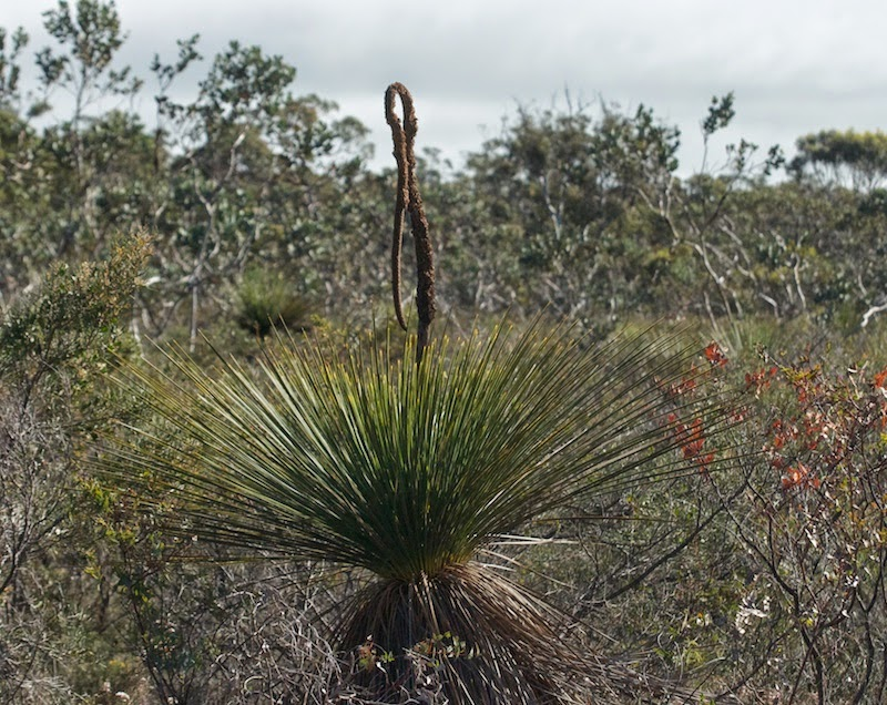 Grass Tree (Xanthorrhoea sp)