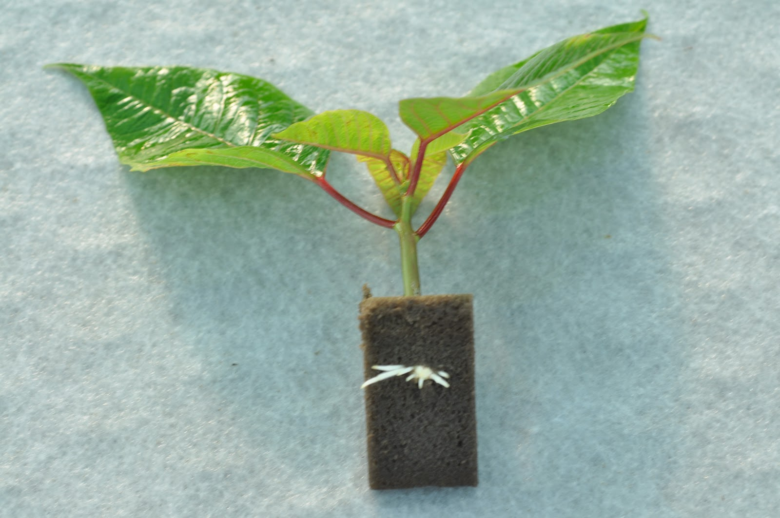 how to grow poinsettias from cuttings