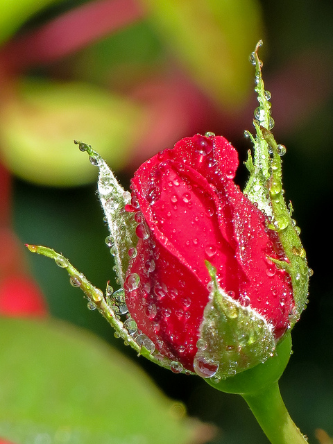 Adorable new born red rose in dew drops